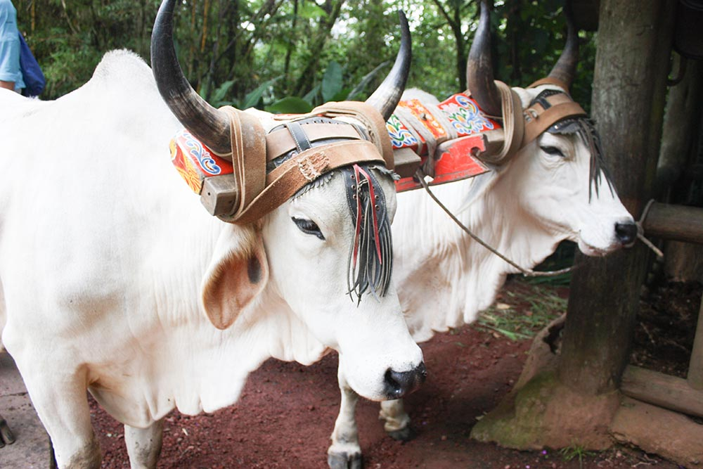 White ox with ornate yoke -- a wildlife grad's photo memory from a study abroad.