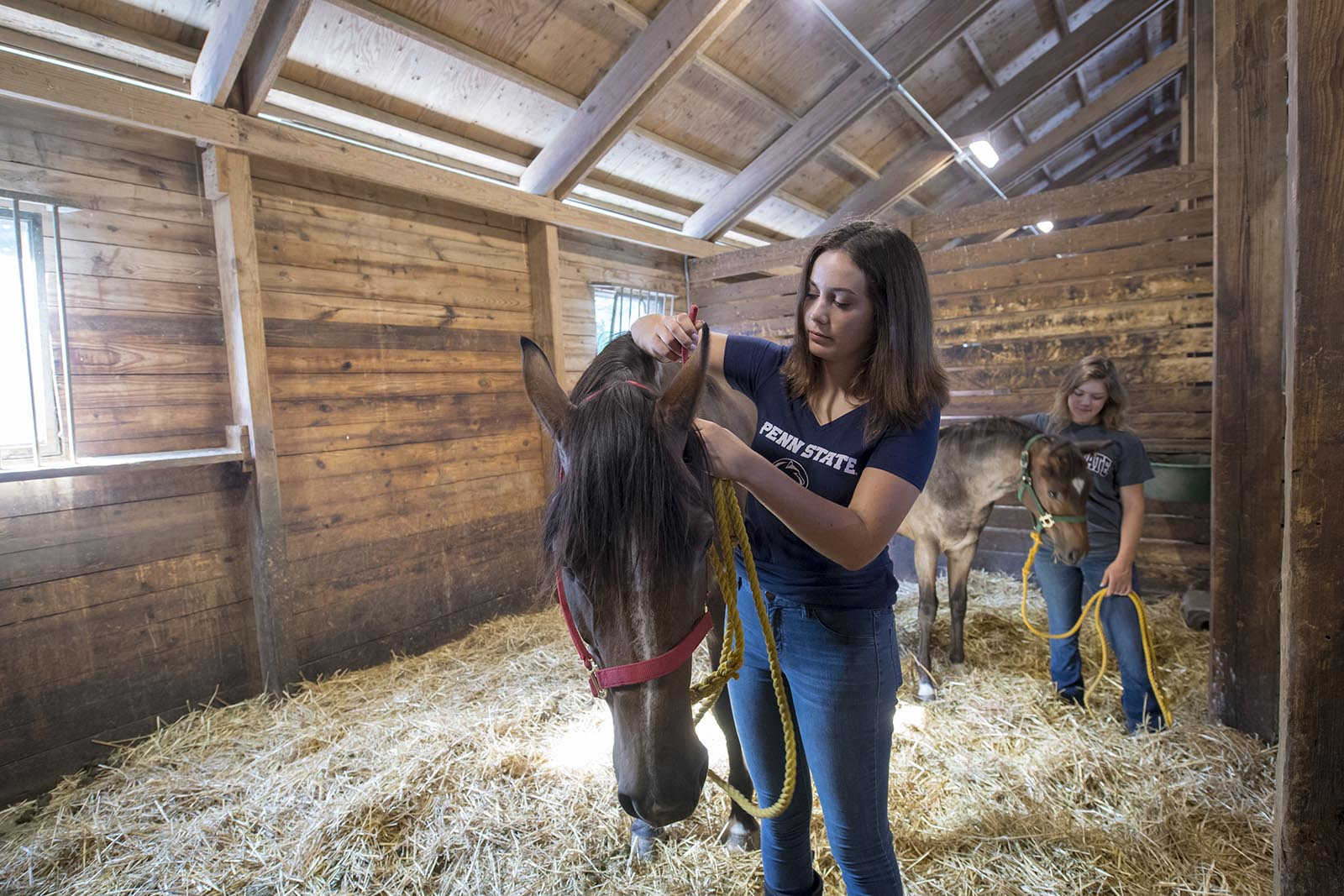 A Penn State Equine Science student adjusting the bridle of a horse.