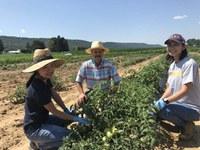 Foolad tomato, field, grad, students