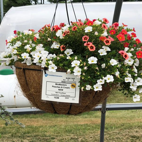 Combinations - Hanging Basket 'Peaches & Cream'