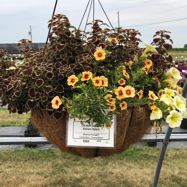 Combinations - Hanging Basket 'Sahara Safari'