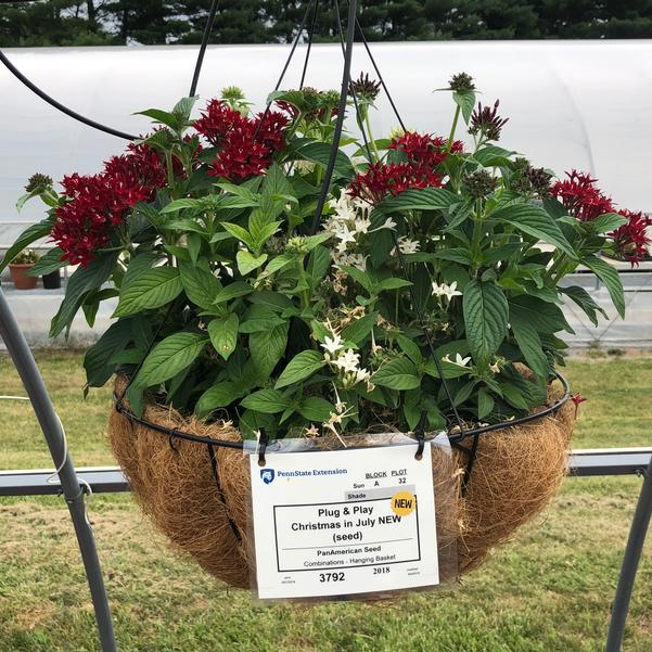 Combinations - Hanging Basket 'Christmas in July (seed)'