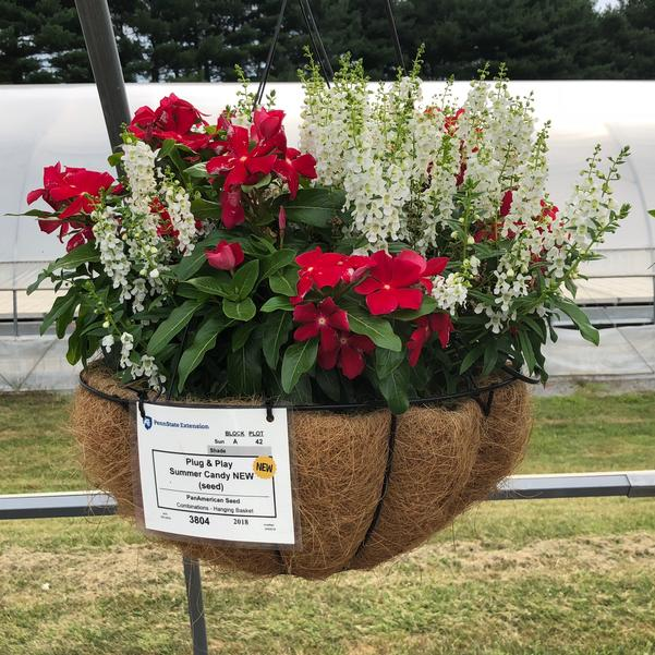 Combinations - Hanging Basket 'Summer Candy (seed)'
