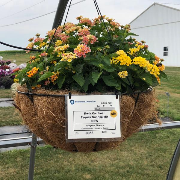 Combinations - Hanging Basket 'Tequila Sunrise Mix'