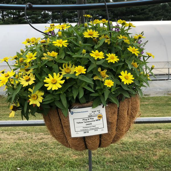 Combinations - Hanging Basket 'Yellow Tambourine (seed)'