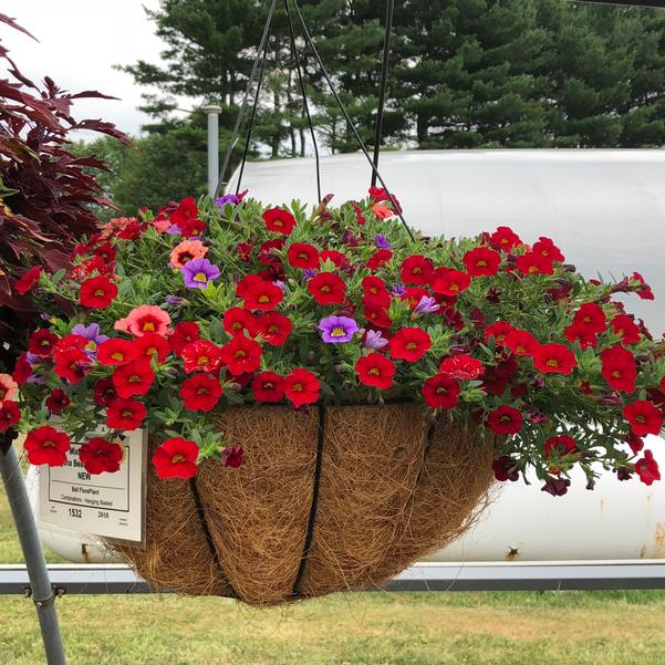 Combinations - Hanging Basket 'Laguna Beach'