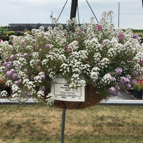 Combinations - Hanging Basket 'Heaven Scent™'