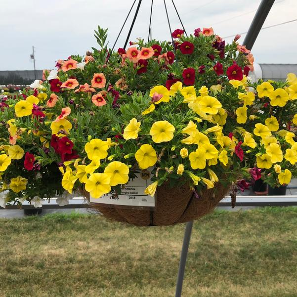 Combinations - Hanging Basket 'Zumba'