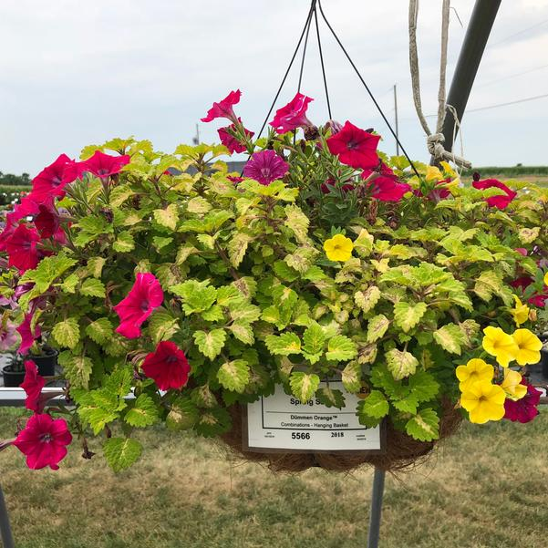Combinations - Hanging Basket 'Spring Safari'