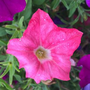 Petunia 'Opposites Attract Mix Imp (seed)'
