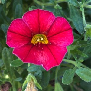 Calibrachoa 'Bright Red'