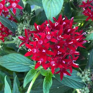 Pentas 'Dark Red (seed)'