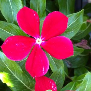 Vinca (Catharanthus) 'Red (seed)'