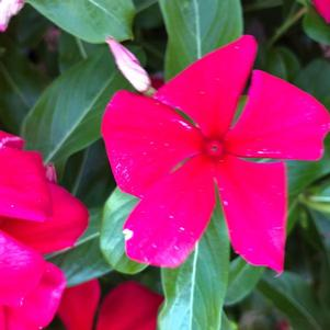 Vinca (Catharanthus) 'Dark Red Imp (seed)'
