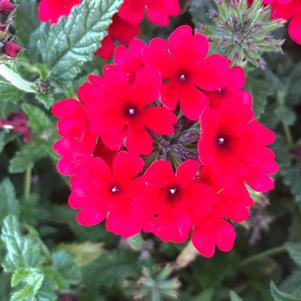 Verbena 'Dark Red'