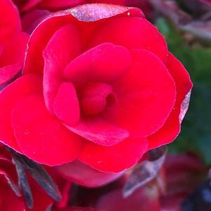 Begonia 'Vermillion Red©sr;'