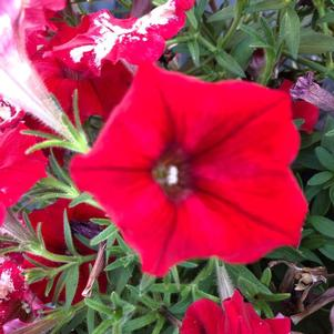 Petunia 'Tea Red©sr;'