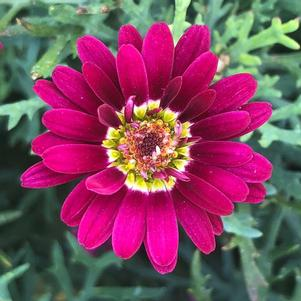 Argyranthemum 'Percussion Maracas Red(P)'