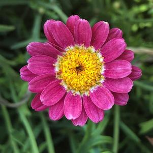 Argyranthemum 'Percussion Scarlet(P)'