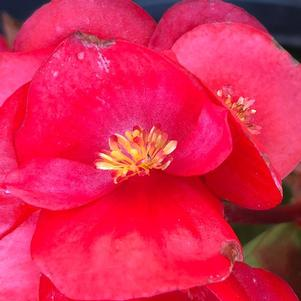 Begonia 'Red Green Leaf (seed)'