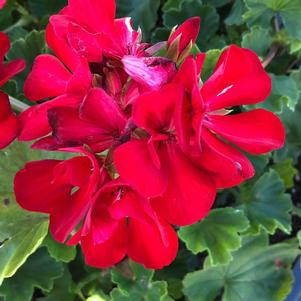 Geranium Interspecific 'Dark Red'