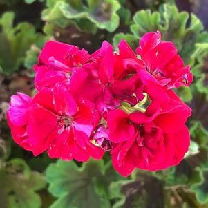 Geranium - Zonal 'Brocade Cherry Night'
