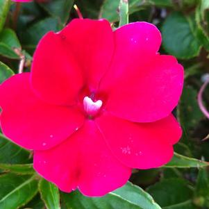 Impatiens - New Guinea 'Neon Red'