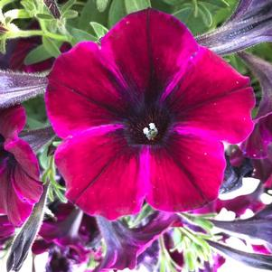 Petunia 'Johnny Flame'