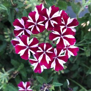 Verbena 'Empress Flair Burgundy Star 30'