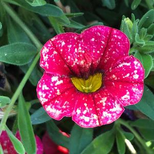 Calibrachoa 'Dark Red'