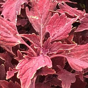 Coleus (Solenostemon) 'Royale Cherry Brandy'