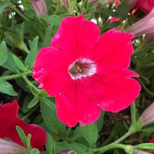 Petunia 'Trailing Red'