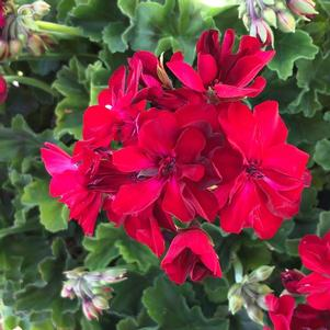 Geranium - Interspecific 'Dark Red'