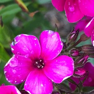 Phlox paniculata 'Early Cerise'