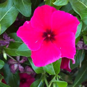 Vinca (Catharanthus) 'Black Cherry (seed)'