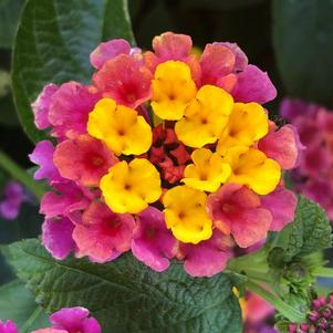 Lantana 'Sunrise Rose'