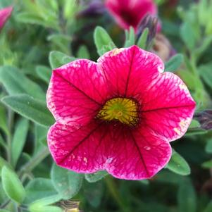 Calibrachoa 'Strawberry Star (seed)'