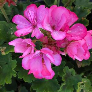 Geranium Interspecific 'Pink'