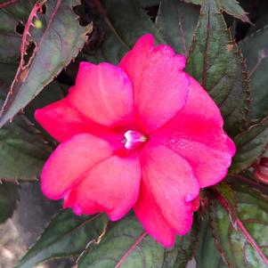 Impatiens - New Guinea 'Salmon Aurora'