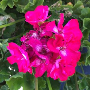 Geranium - Interspecific 'Large Hot Rose'