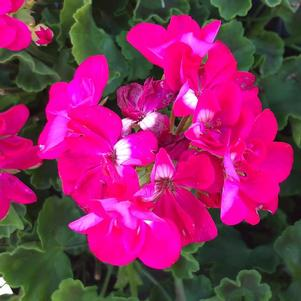 Geranium - Interspecific 'Medium Hot Rose'