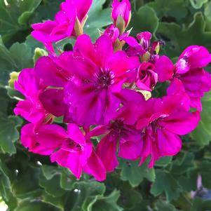 Geranium - Interspecific 'Medium Violet'