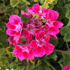 Geranium - Interspecific 'Deep Rose Mega Splash'