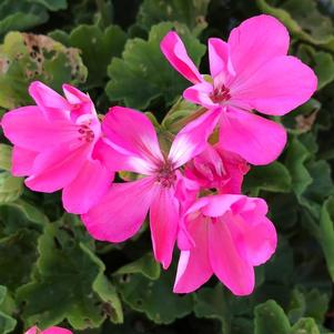 Geranium - Interspecific 'Pink'