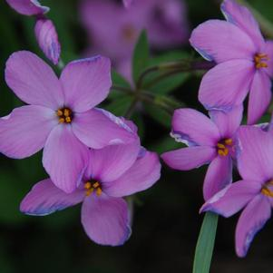 Phlox 'Sweet Seduction Pink'