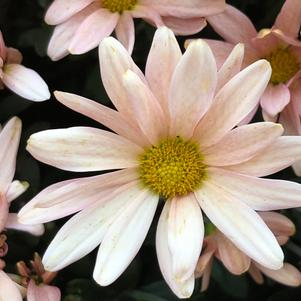 Chrysanthemum 'Peaches and Cream'