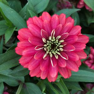 Zinnia Double 'Salmon (seed)'