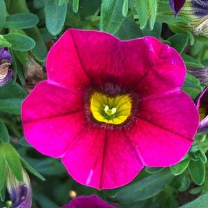 Calibrachoa 'Raspberry'