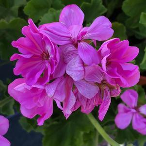 Geranium - Interspecific 'Large Lavender'