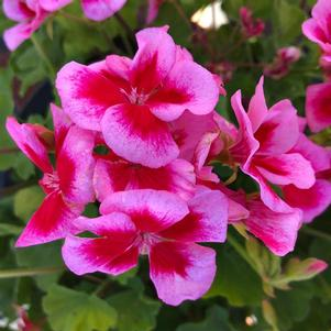 Geranium - Interspecific 'Large Rose Mega Splash'